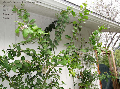 Annieinaustin,taller Meyer's lemon tree