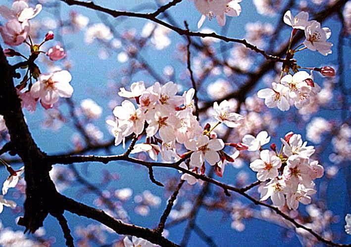 Semua Tentang Bunga Bunga Sakura
