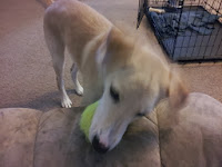 Pearl plays with her tennis ball.