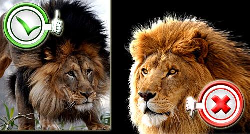 Leões - Juba