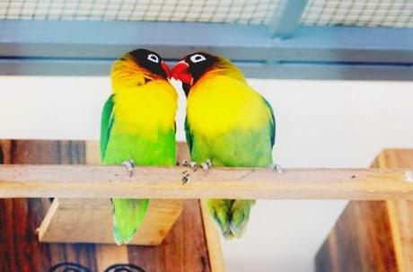 menjodohkan burung lovebird