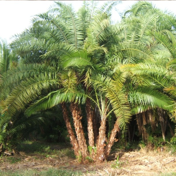 ... Island Date Palms – Guide To Planting A Canary Island Date Palm