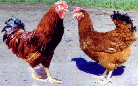 Полтавский куры фото