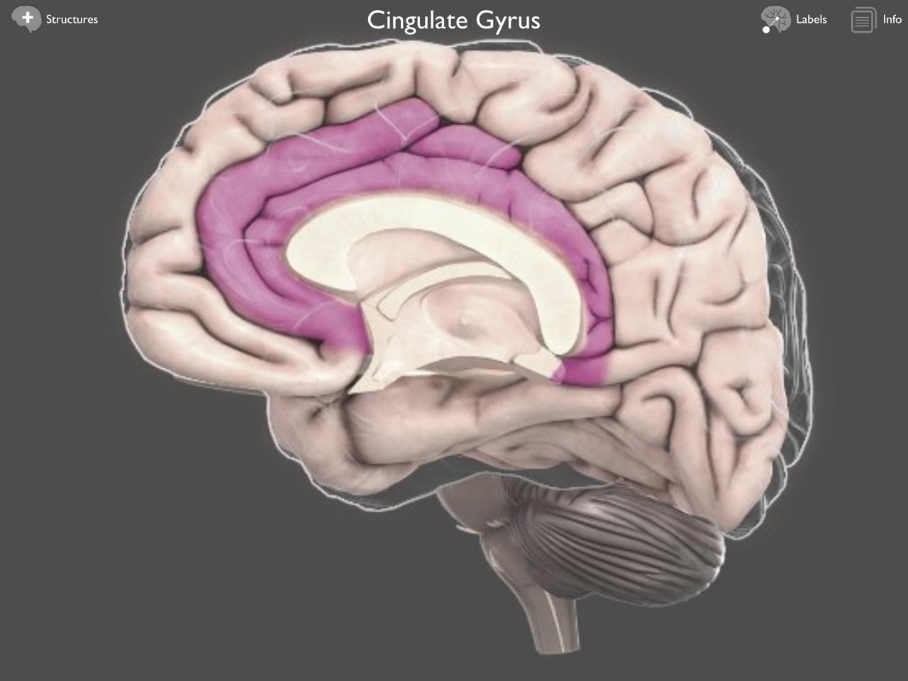 Family Attachment And The Brain Cingulate Cortex Brain Posts