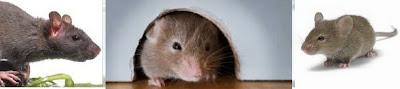 Tips Mengusir Tikus Rumah yang Membandel