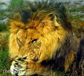 Aku lagi galau Tuhan, kalo aku makan rusa yang baru lahiran itu, ntar aku dibilang singa tidak punya perasaan, tapi ni perut dah lapar banget...