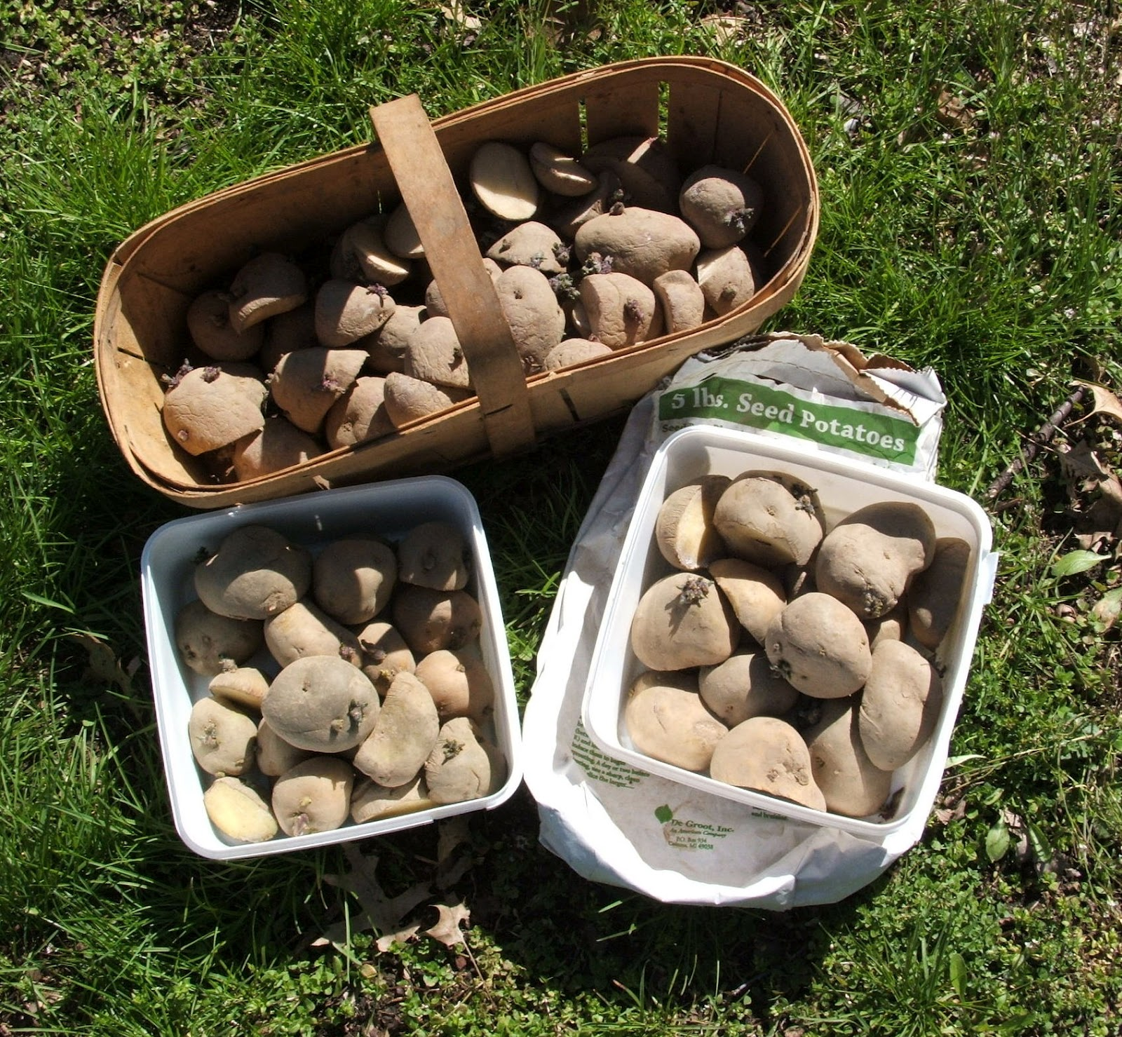 God's Growing Garden: Planting Potatoes in a Compost Pile??