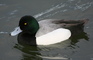 Male Greater Scaup Aythya marila at Lake Merritt in Oakland, California by Calibas