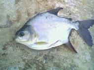 Tambacú
