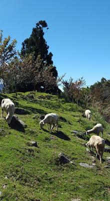 Sheep grazing at Cingjing Farm in Taiwan