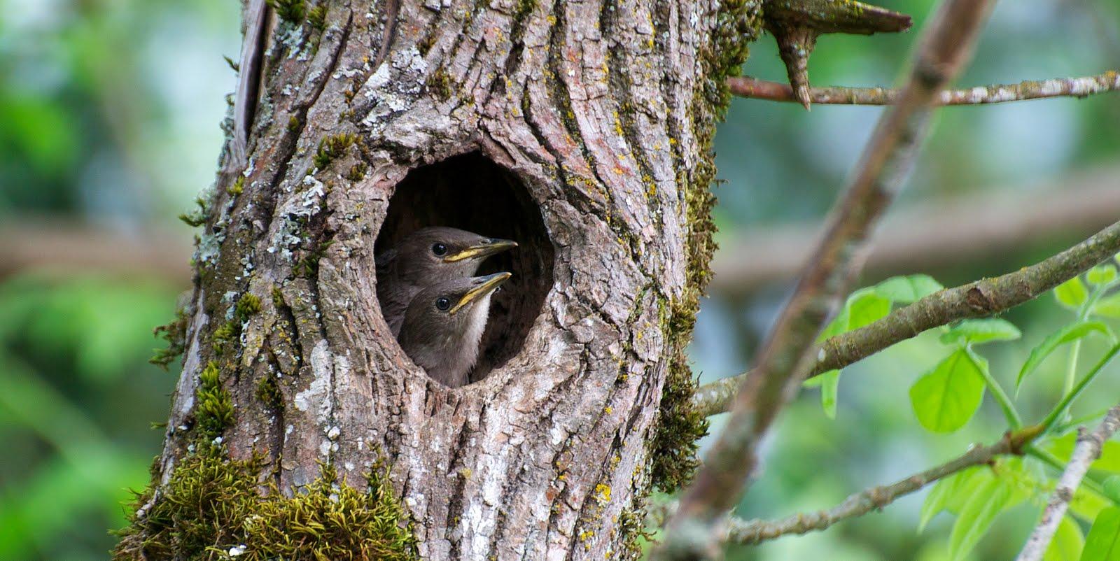 European Starling Nest