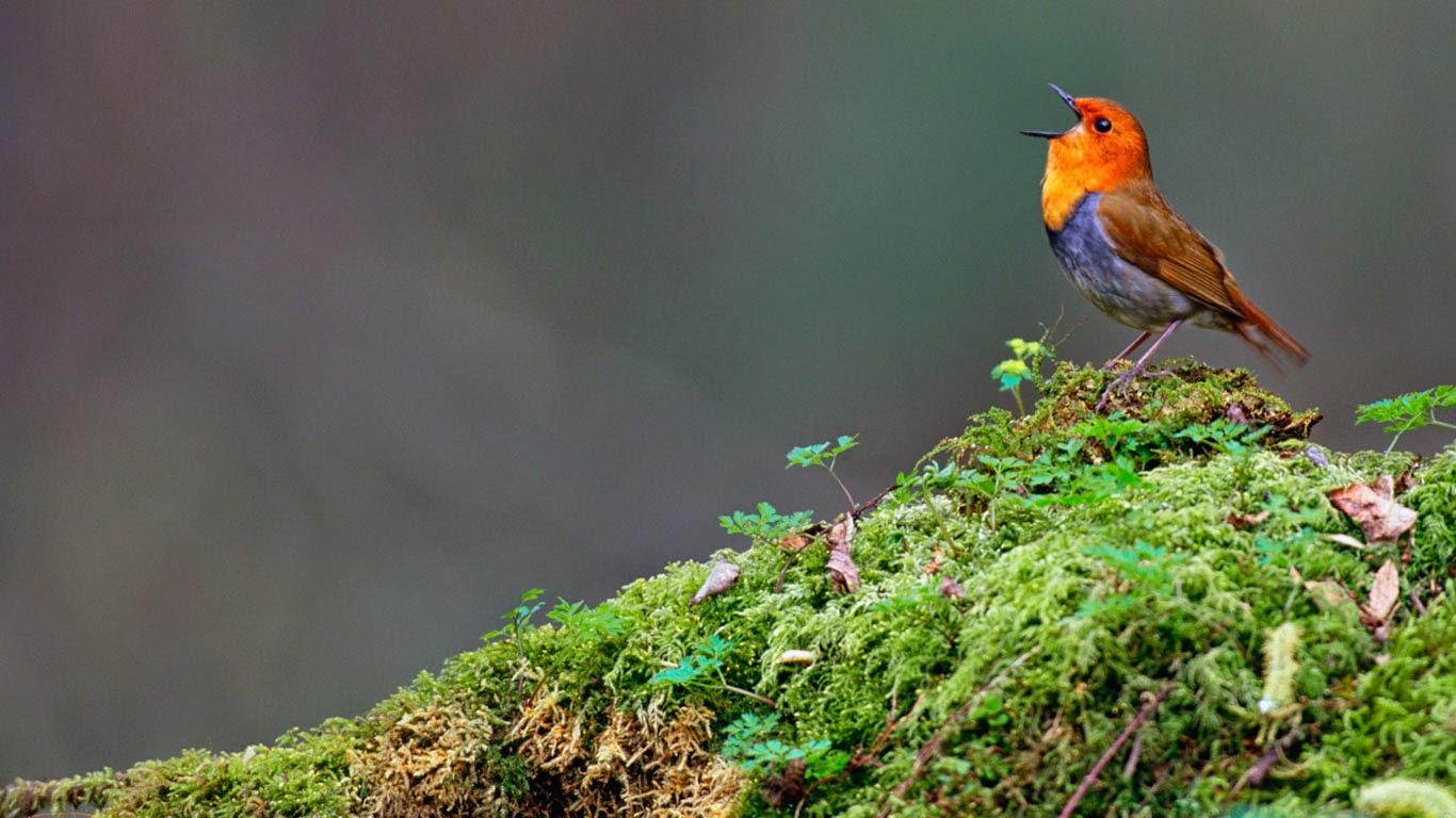 Japanese robin, Yatsugatake, Nagano, Japan (© Gouichi Wada/Minden Pictures) 558