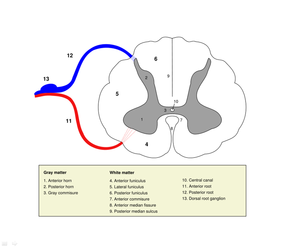 Anatomy of Spinal Cord | Geoffrey E. Reed life