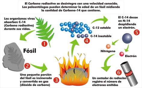 Resultado de imagen de Los isótopos del carbono, y el carbono-14 como método para medir la edad de restos de origen orgánico