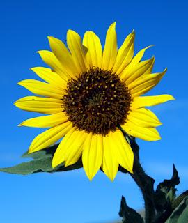 foto gambar setangkai bunga matahari