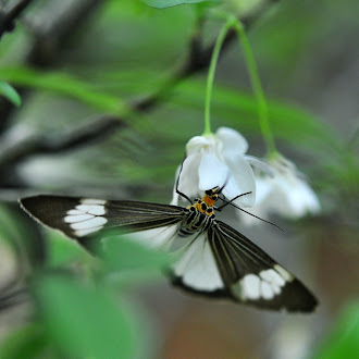 Butterfly on Wrightia Religiosa