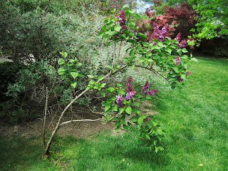 Ferida's lilac bush