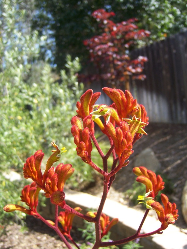 Picture of Live Kangaroo Paw (Orange) aka Anigozanthus flav. 'Bush Tango' Plant Fit 1 Gallon Pot
