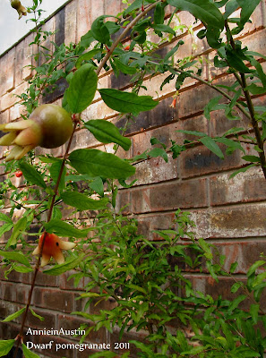 Annieinaustin dwarf pomegranate bloom