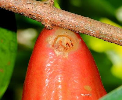 Perangkap lalat buah jambu