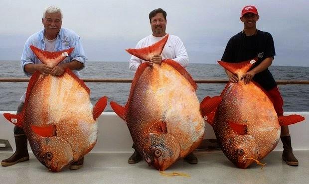 Trio fisga peixes iguais em pescaria na calif rnia e faz - Pagina di colorazione del pesce ...