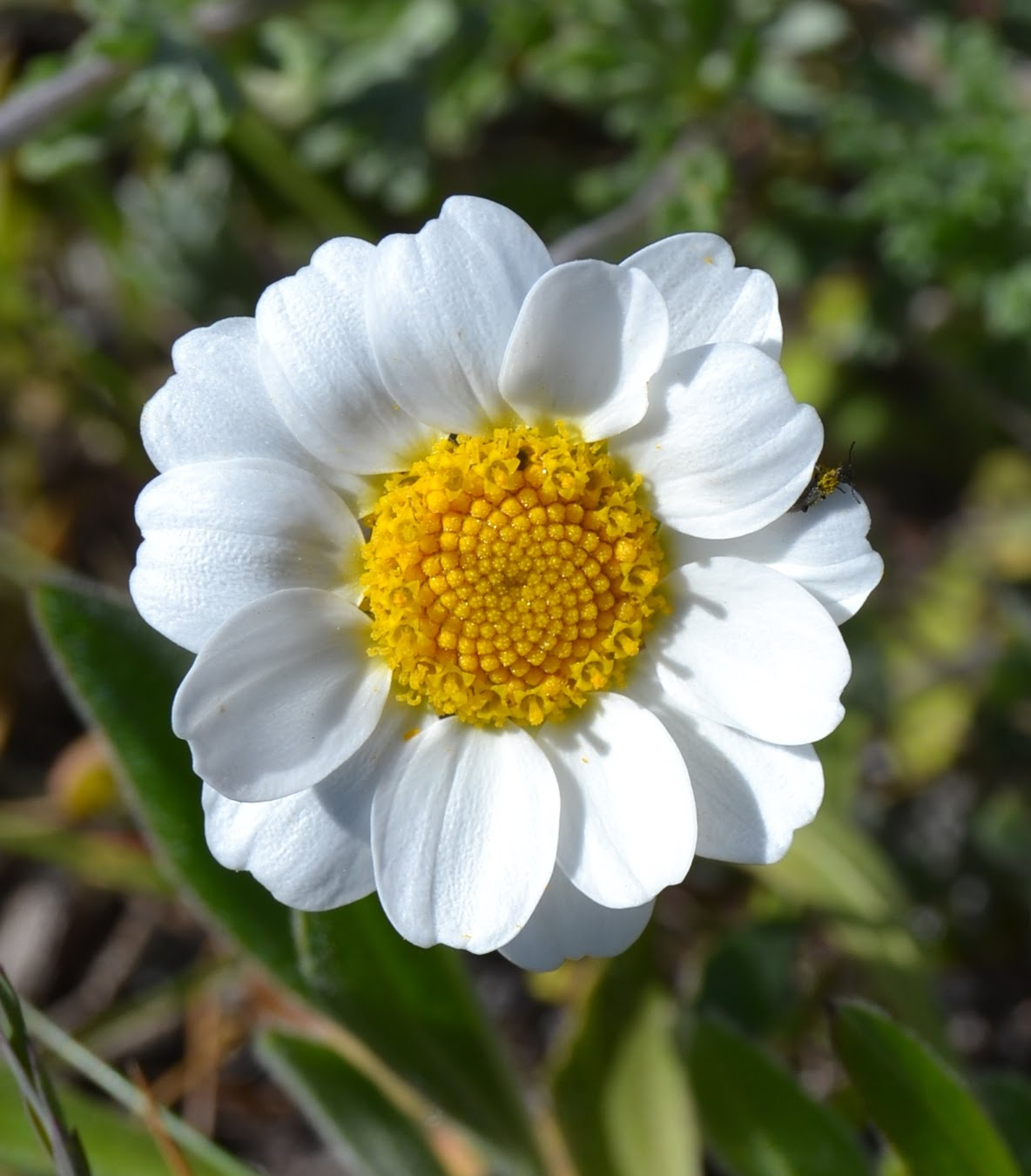Anthemis maritima