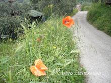 Valmuer i Toscana