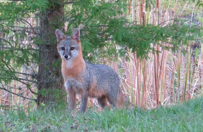 Fox at Quail Run Rv Park