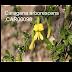 Đậu Lam Siberian ( Caragana arborescens,CAR00098)