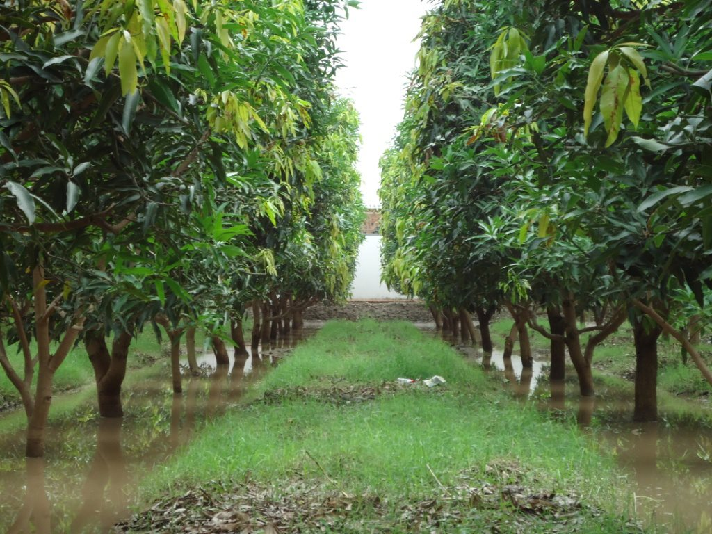 how to take care of mango plantation