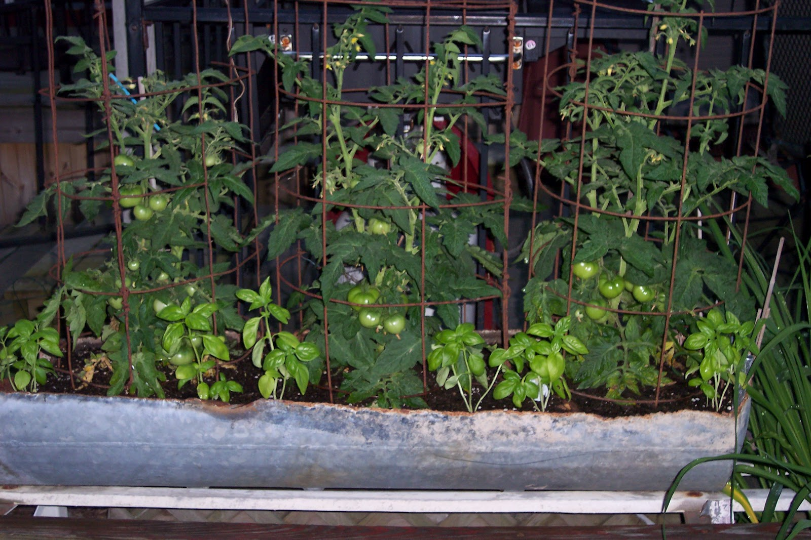 Of Course Three Tomato Plants Are Not A Requirement   One Plant Or Two  Would Work Just As Well.