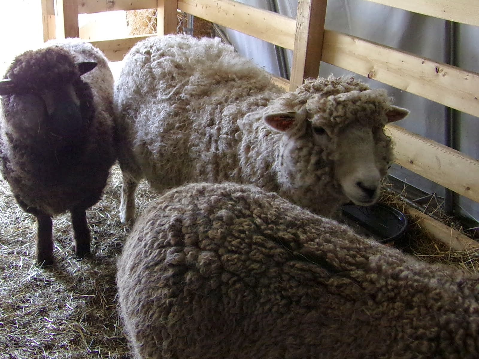 The Ladies-Our Romney Sheep