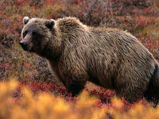 gambar beruang