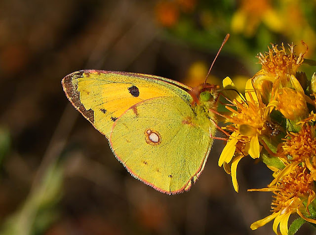 Common Clouded Yellow (Colias croceus) butterfly