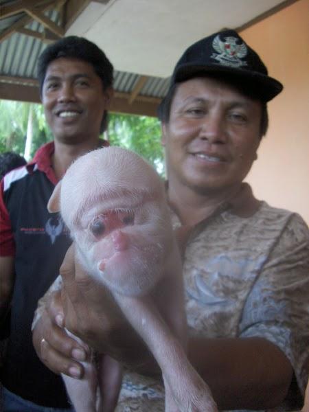 Apakah kita persilangan antara babi dan simpanse?