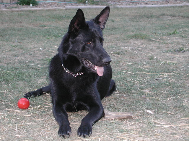 When do the german shepherd ears stand up