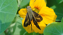 Skipper on a nasturtium bloom