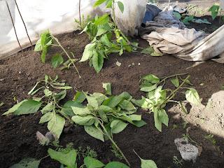 Многие растения безнадежно уничтожены