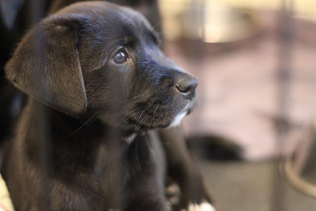 labrador retriever; dog; puppy