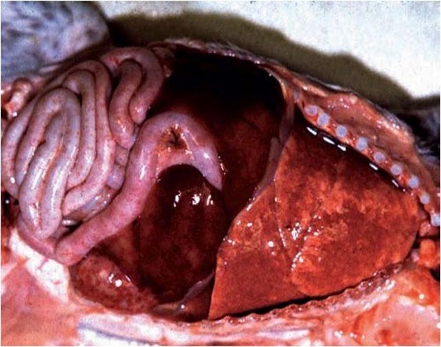 CHV gây tổn thương tòan bộ trên một chú chó đã chết 11 ngày sau khi sinh. Lưu ý các tổn thương hoại tử nổi bật trong phổi và gan.