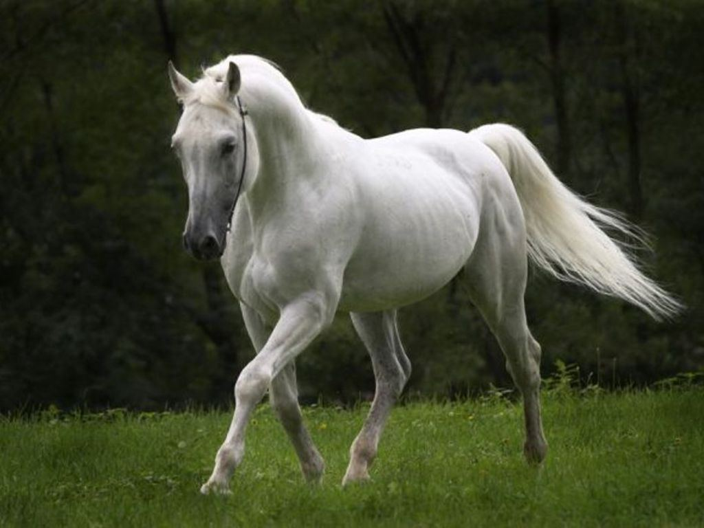 HD Animals Wallpapers: White horse Pictures