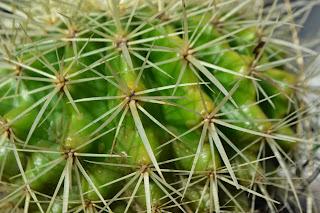 Echinocactus grusonii. Cactus esférico en maceta.