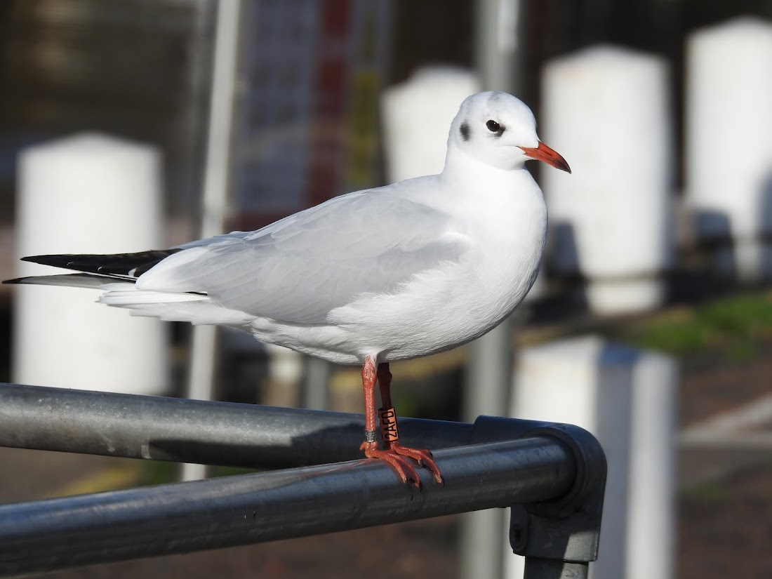 Black-headed Gull - Orange 2AFD
