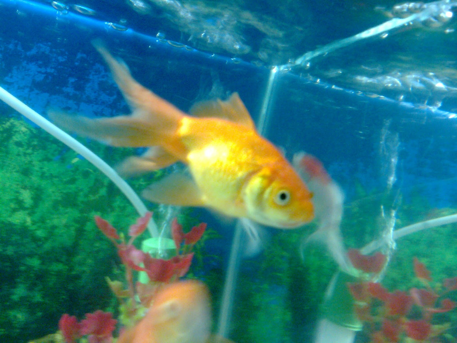 small fish tank india - freshwater fish | image gallery ...