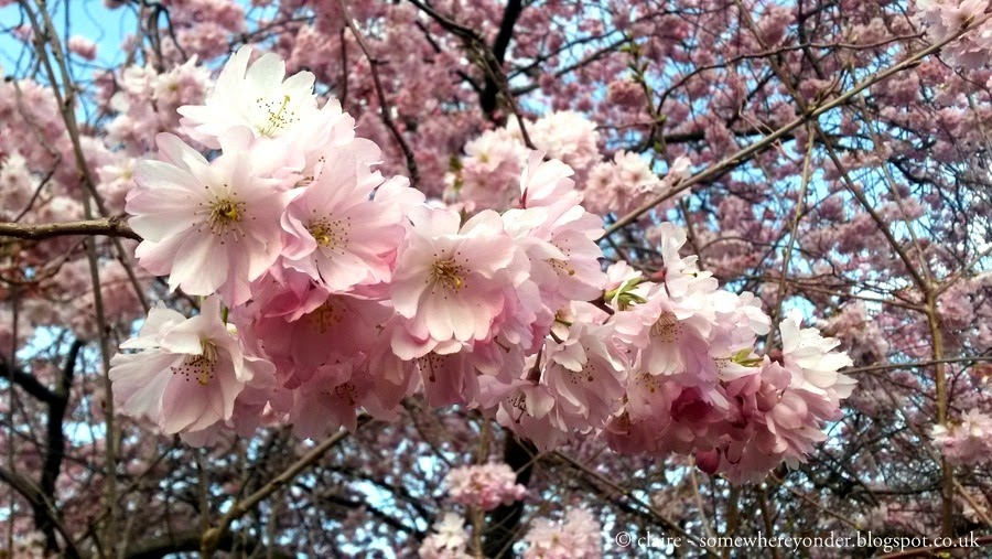 cherry blossoms in Hyde Park