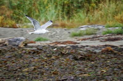 gull over beach