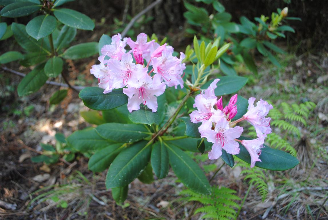 Mendonoma Sightings Wild Rhododendrons have begun to bloom on the Mendonoma