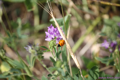 an orange ladybug with four black dots perched on a purple and white flower