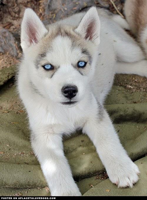 Dog Breeds Tiny Dog Breeds Wolf Dog Breeds Blue Eyed Dog Breeds  Dog
