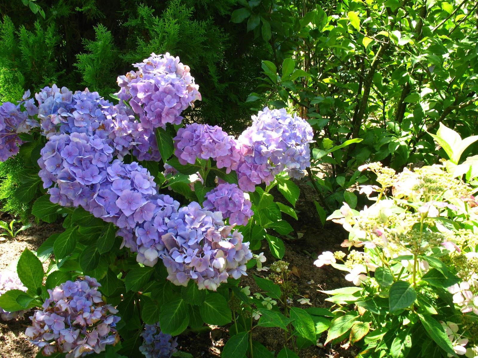 roses du jardin ch neland hydrang a macrophylla renate steiniger. Black Bedroom Furniture Sets. Home Design Ideas